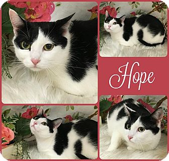 Domestic Shorthair Cat for adoption in Joliet, Illinois - Hope