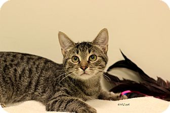 Domestic Shorthair Kitten for adoption in Flushing, Michigan - Lucas
