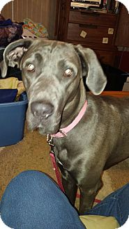 Great Dane/Great Pyrenees Mix Dog for adoption in Oswego, Illinois - Bella