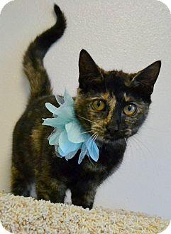 Domestic Shorthair Kitten for adoption in Plano, Texas - WASABI - TORTIE LOVE!