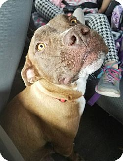 Pit Bull Terrier/Boxer Mix Dog for adoption in Gainesville, Florida - Waddles