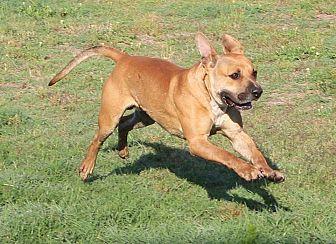 Bulldog Mix Dog for adoption in Golsboro, North Carolina - Zeke