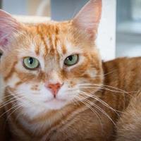 Adopt A Pet :: Dona - Chicago, IL