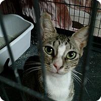 Adopt A Pet :: Bacall - Tampa, FL