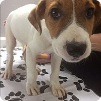 Adopt A Pet :: Barley - St. Louis, MO