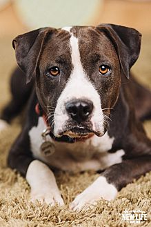 Pit Bull Terrier/Boxer Mix Dog for adoption in Portland, Oregon - Annabella