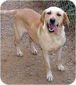 Labrador Retriever Dog for adoption in Cumming, Georgia - Goldie A
