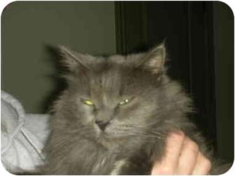 Domestic Mediumhair Cat for adoption in Washington Terrace, Utah - Bart