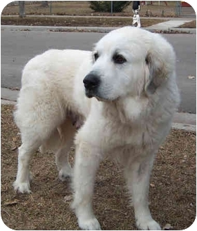 Great Pyrenees Dog for adoption in Minneapolis, Minnesota - Omie