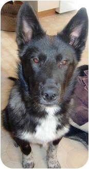 Husky/Collie Mix Puppy for adoption in Spruce Grove, Alberta - Xander