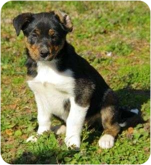 Australian Shepherd Mix Puppy for adoption in Spring Valley, New York - Bree