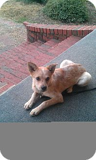 Australian Cattle Dog Dog for adoption in Conway, Arkansas - Jenny
