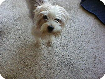 Silky Terrier Mix Dog for adoption in Daleville, Alabama - Sammy
