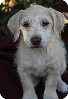Terrier (Unknown Type, Small)/Poodle (Miniature) Mix Puppy for adoption in Yuba City, California - Wyland
