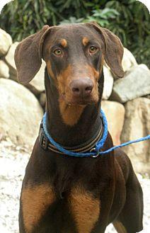 Doberman Pinscher Dog for adoption in Fillmore, California - Daryl