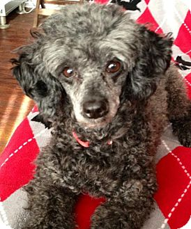 Poodle (Toy or Tea Cup) Dog for adoption in Hilliard, Ohio - Fifi