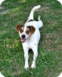 Jack Russell Terrier Mix Dog for adoption in Sugar Land, Texas - Dudley