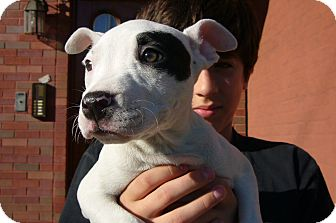 American Staffordshire Terrier Puppy for adoption in Brooklyn, New York - PETEY
