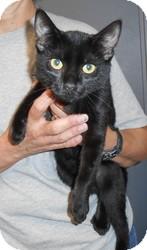 Domestic Shorthair Cat for adoption in Chambersburg, Pennsylvania - Elsa
