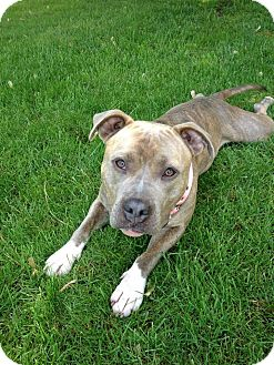 American Staffordshire Terrier/American Pit Bull Terrier Mix Dog for adoption in Portland, Oregon - Petunia