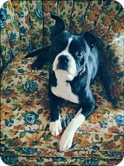 Boston Terrier Mix Puppy for adoption in Fort Worth, Texas - JACKIE