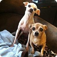Chihuahua Mix Dog for adoption in Yelm, Washington - Brad and Angelina