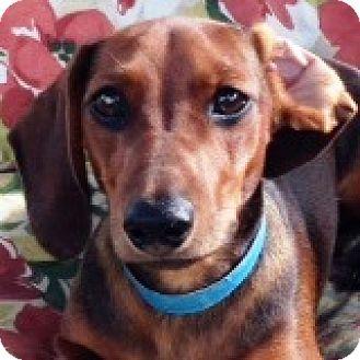 Dachshund Dog for adoption in Houston, Texas - Gavin Groom