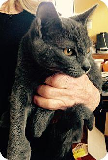 Russian Blue Kitten for adoption in Encinitas, California - Emerald
