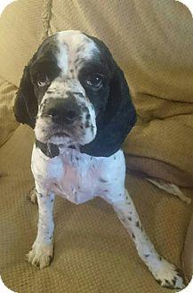 Cocker Spaniel Mix Dog for adoption in Mesa, Arizona - Lucky