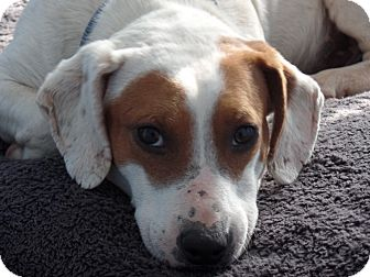 Basset Hound/Bull Terrier Mix Dog for adoption in Great Falls, Virginia - Jethro