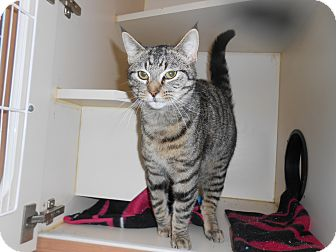 Domestic Shorthair Cat for adoption in Gaylord, Michigan - Lynx