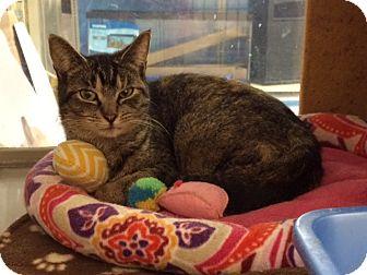 Domestic Shorthair Cat for adoption in Byron Center, Michigan - Speedy