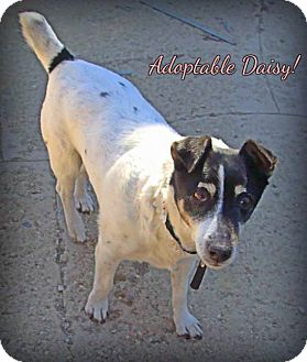 Jack Russell Terrier Mix Dog for adoption in Loveland, Colorado - Daisy