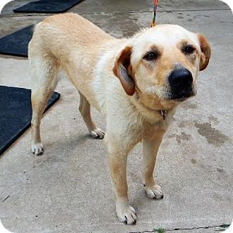 Labrador Retriever/Retriever (Unknown Type) Mix Dog for adoption in Westport, Connecticut - *Sweet Magnolia - PENDING