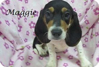 Basset Hound Mix Puppy for adoption in Bartonsville, Pennsylvania - Maggie