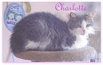 Domestic Mediumhair Cat for adoption in Culpeper, Virginia - Charlotte
