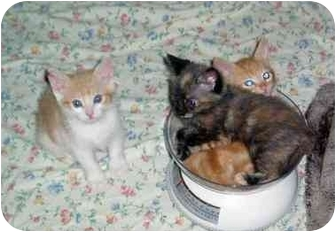 Domestic Shorthair Kitten for adoption in San Diego/North County, California - KITTENS