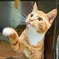 Domestic Shorthair Cat for adoption in Hampton, Virginia - MORIS
