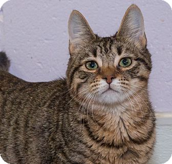 Domestic Shorthair Cat for adoption in Elmwood Park, New Jersey - Tide