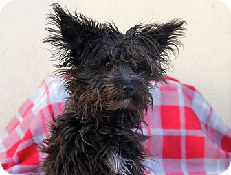 Yorkie, Yorkshire Terrier Mix Puppy for adoption in Los Angeles, California - Smudge