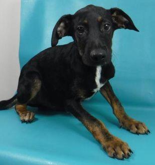 Pointer Mix Puppy for adoption in Chicago, Illinois - Wendell