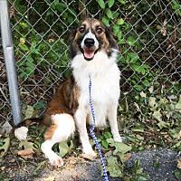 Adopt A Pet :: Avera - Hainesville, IL