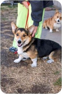 Pembroke Welsh Corgi Dog for adoption in Inola, Oklahoma - Booker
