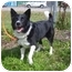 Photo 3 - Border Collie Dog for adoption in Austin, Minnesota - Pepper
