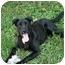 Photo 2 - Labrador Retriever Mix Dog for adoption in Saint Charles, Missouri - Zachary--URGENT!