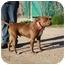Photo 1 - American Pit Bull Terrier/Labrador Retriever Mix Dog for adoption in California City, California - The Plumbas
