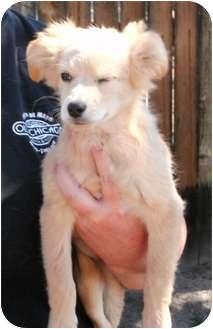 Golden Retriever/Labrador Retriever Mix Puppy for adoption in Evergreen, Colorado - Habanero