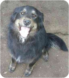 Golden Retriever/German Shepherd Dog Mix Dog for adoption in Molalla, Oregon - Zoe