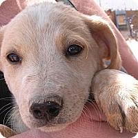 Adopt A Pet :: Blondie - Colorado Springs, CO