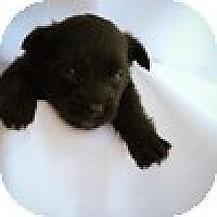 Adopt A Pet :: Puppy Male - Mission Viejo, CA